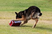 Working Dog Sniffing Out Drugs Or Explosives