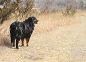 Burnese Mountain Dog on the trail