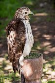 Red-tailed Hawk (buteo Jamaicensis) On A Perch