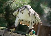 foto of falcons  - The Saker falcon  - JPG