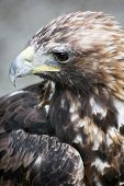 Profile Of A Golden Eagle (aquila Chrysaetos)