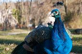 image of indian peafowl  - Close up of an Indian peafowl  - JPG