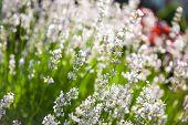 White Lavender Buds
