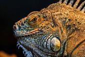 Guana Lizard