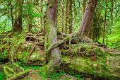 picture of rainforest  - Nurse tree in Olympic National Park Olympic Peninsula Washington - JPG