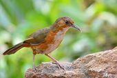 stock photo of babbler  - Beautiful long bills bird Rusty - JPG