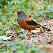 pic of brown thrush  - Colorful brown and black bird Chestnut Thrush  - JPG