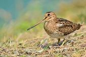 image of snipe  - Snipe bird  - JPG