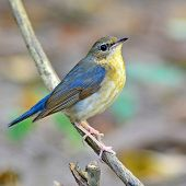 stock photo of robin bird  - Beautiful bird A female of Siberian Blue Robin  - JPG