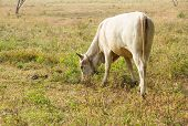 Cow Eating Grass In The Field