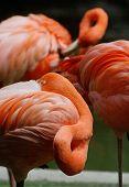 American Flamingo (phoenicopterus Ruber) Resting
