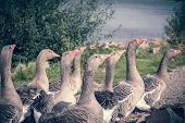 A Band Of Running Geese With Green And Blue Color Filter