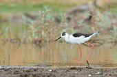Black-winged Stilt Wading In A Shallow Pond