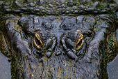 stock photo of alligator baby  - Alligator - JPG
