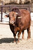 pic of brahma-bull  - Bull in a pen waiting to perform in a rodeo - JPG