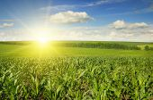 pic of corn  - Beautiful sunset on corn field - JPG