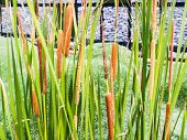 image of cattail  - closeup of cattails in nature in horizontal background - JPG