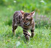 cat runs on a lawn