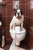stock photo of poo  - French bulldog sitting on toilet at home - JPG