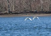 Swans in Fight