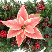 Poinsettia flower with fir, holly, ivy, and cedar cypress leaf sprigs over white.