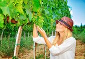 Woman plucks grapes from vineyard, young farmer gardening at harvest season in Italy, Tuscany, count