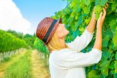 Woman pluck grape from the vineyard, cute young farmer, harvest season, Italian winery