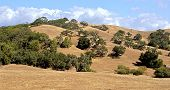 hills with oak trees
