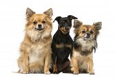 picture of miniature pinscher  - miniature pinscher and chihuahua - JPG