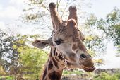 Giraffe Head Shot - Horizontal