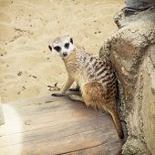 pic of meerkats  - The Meerkat or Suricate  - JPG