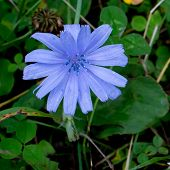 stock photo of chicory  - Dark blue Chicory growing at the meadow - JPG