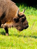 Detailed View Of European Bison