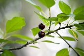 Two Red Cherries On Tree Branch