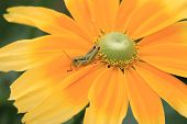 Shining Coneflower and Grasshopper