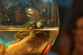 Cub Colombian Red-eared Sliders .