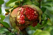 picture of pomegranate  - Ripe pomegranate - JPG
