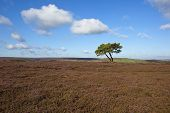 Lone Tree With Moorland