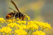 stock photo of vespa  - Vespa velutina nigrithorax the Asian hornet originates from Southeast Asia and is an invader wasp that has appeared in Europe in France Spain and Portugal - JPG