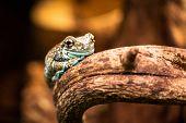 Mission golden-eyed tree frog