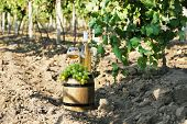 Goblet and bottle of wine with grape on wooden barrel on grape plantation background