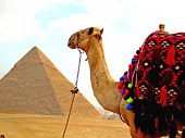 Camel Overlooking Pyramids