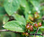 Green Bug On Berries