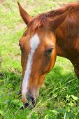 stock photo of eat grass  - Portrait of horse eating grass close up view