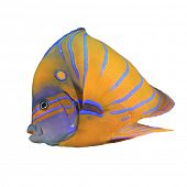 pic of angelfish  - Tropical Fish isolated - JPG