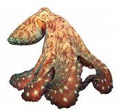 foto of octopus  - Big Red Reef Octopus - JPG