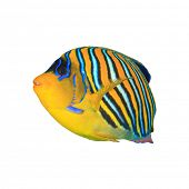 Tropical fishisolated: Regal (Royal) Angelfish