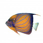 image of angelfish  - Tropical Fish isolated - JPG
