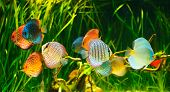 stock photo of green algae  - Symphysodon discus in an aquarium on a green background - JPG