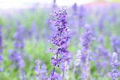 Beautiful flower Blue Salvia